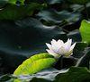 早起的玩家有花拍:擁抱 荷花 艷陽天