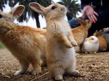 超 可愛 兔兔 天堂 !前進 日本 兔島 大久野島 ,捕捉 萌 兔 萬千風情