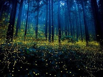 仲夏夜之夢,日本攝影師鏡頭中的螢火蟲季