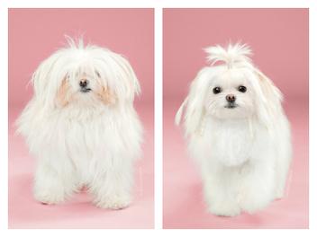 髮型前後大對比!日式美容讓可愛小狗改頭換面